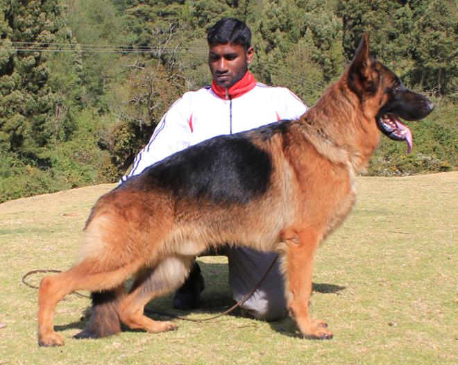 German shepherd Stud dogs in India, German Shepherd Males