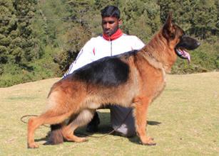 German Shepherd Puppies for Sale in Hyderabad, German Shepherd ...