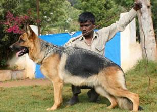 German Shepherd Puppies for Sale in ooty, German Shepherd
